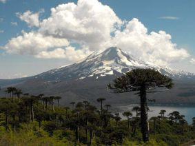 L'araucaria du Chili
