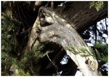Vestige-arbre-dragon